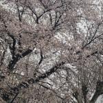 桜🌸と雪❄️