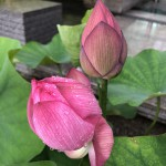 kay 京都で蓮の花に癒される