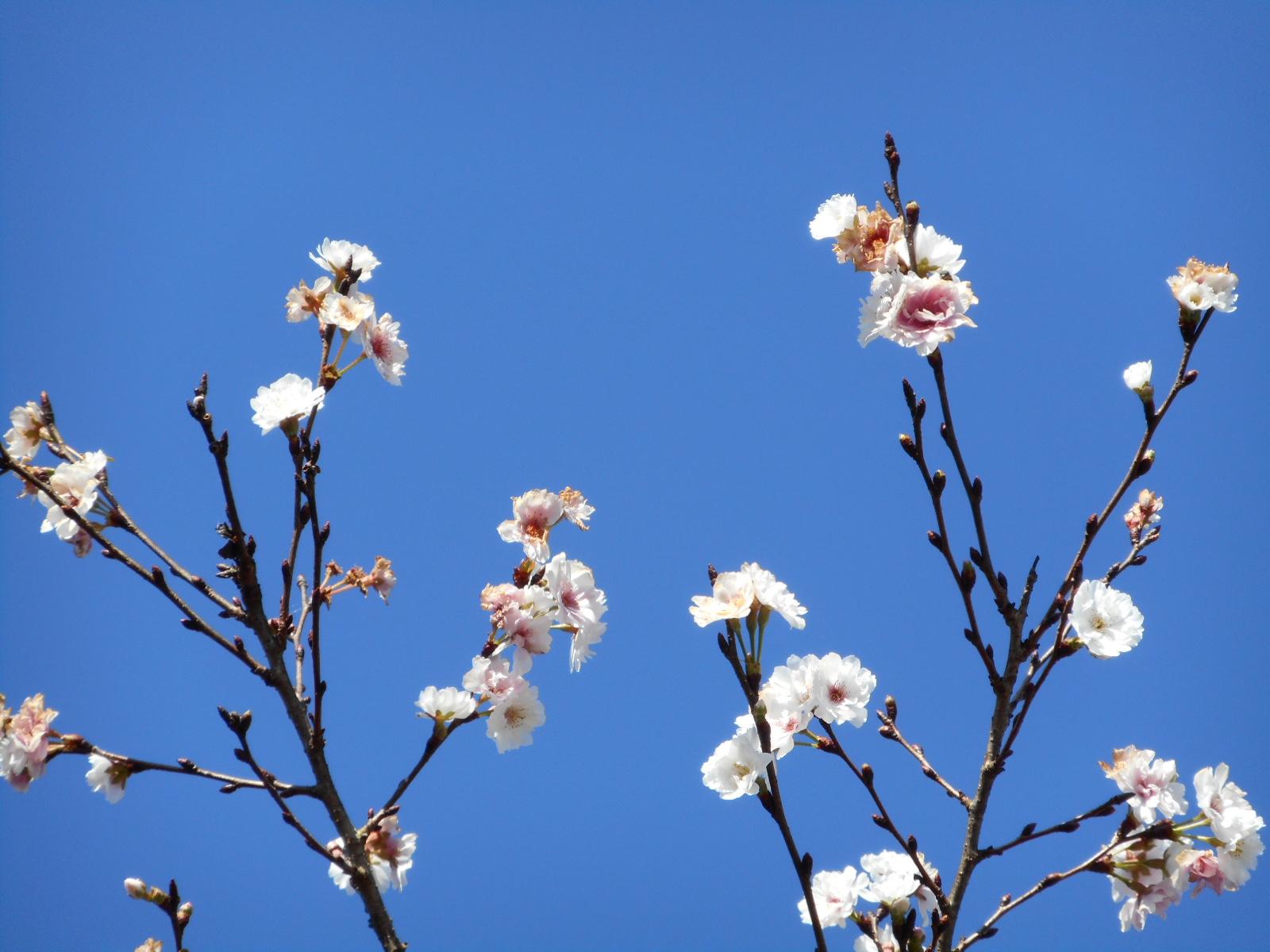 「冬桜」を見に行ってきました!お出かけの間は肩をほぐす☆