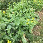 菜の花摘み🌹で春を感じてきました♬